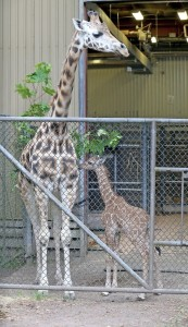 Baby giraffe at Woodland Park Zoo